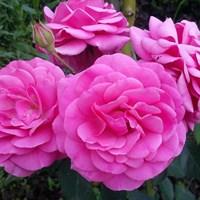 Роза флорибунда Маджента Диадем-розовый