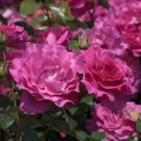 Роза флорибунда Ману Мейян-розовый