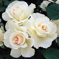 Роза флорибунда Маргарет Меррилл-белый