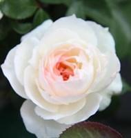 Роза флорибунда Мидл-кремовый