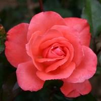 Роза флорибунда Мюнхенер Киндл-розовый