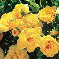 Роза миниатюрная Бэби Голд-желтый