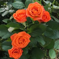 Роза миниатюрная Беби Спрей-оранжевый