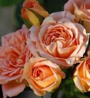 Роза миниатюрная Беатрис-оранжевый