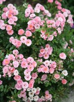 Роза миниатюрная Барби-розовый