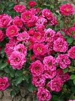 Роза миниатюрная Блю Парад-фуксия