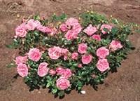 Роза миниатюрная Бубикопф-розовый