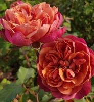 Роза миниатюрная Ча Ча-красный