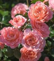 Роза миниатюрная Чантилли-розовый