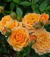 Роза миниатюрная Клара-желтый
