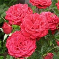 Роза миниатюрная Данко Писта-красный