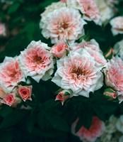 Роза миниатюрная Даниэла-розовый