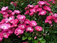 Роза миниатюрная Дегенхарт-двухцветный