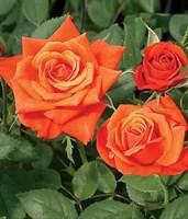 Роза миниатюрная Джинджер-оранжевый