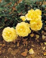 Роза миниатюрная Голден Мейландина-желтый