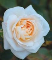 Роза миниатюрная Джейн-кремовый