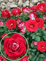 Роза миниатюрная Майди-красный