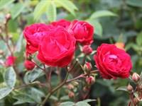 Роза миниатюрная Мутертаг-красный
