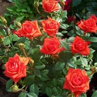 Роза миниатюрная Оранж Джувел-оранжевый