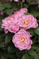 Роза миниатюрная Пинк Симфони-розовый