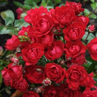 Роза миниатюрная Ред Фаир-красный