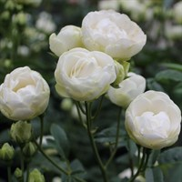 Роза миниатюрная Снипринцесса-белый
