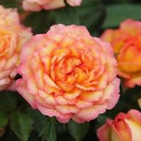 Роза миниатюрная Санмейд-оранжевый