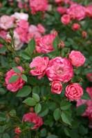 Роза миниатюрная Тини Вини-розовый