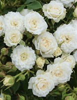 Роза миниатюрная Уайт Гем-белый