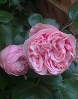 Роза плетистая Альков-розовый