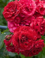 Роза плетистая Амадеус-красный