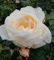 Роза плетистая Бланк-кремовый
