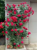 Роза плетистая Калонетта-красный