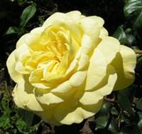 Роза плетистая Казино-желтый