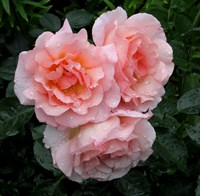 Роза плетистая Компашен-розовый
