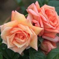 Роза плетистая Критик-желтый