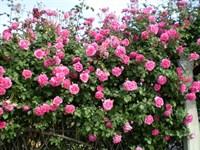 Роза плетистая Декор-розовый