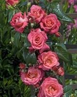 Роза плетистая Деспот-красный