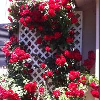 Роза плетистая Дон Жуан-красный