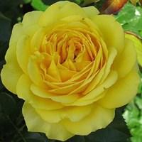 Роза плетистая Дюна-желтый