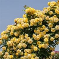 Роза плетистая Голдкрест-желтый