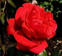 Роза плетистая Грандесса-красный