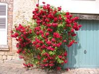 Роза плетистая Гримпан Кассандр-красный