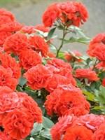 Роза плетистая Гримпан Орандж Мейландина-оранжевый