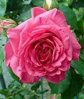 Роза плетистая Мистик-розовый