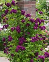 Роза плетистая Партикл-фиолетовый