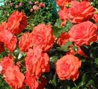 Роза плетистая Салита-оранжевый