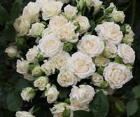 Роза плетистая Сноу Дэнс-белый