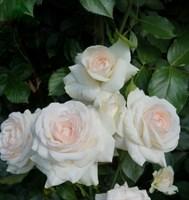 Роза плетистая Сван Лейк-белый