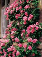 Роза плетистая Темпера розовая-розовый